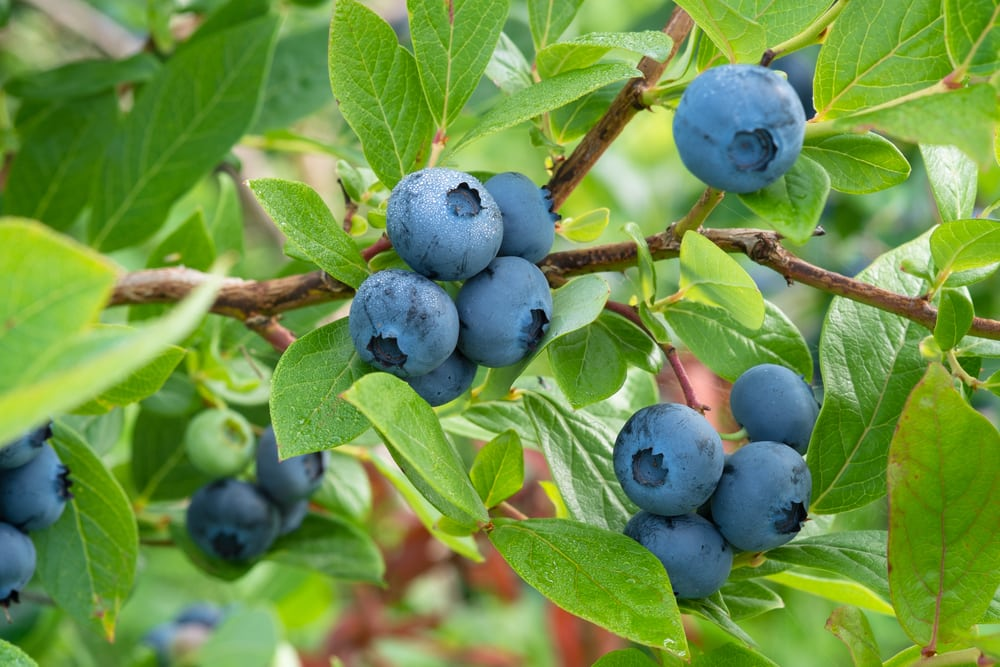 How a fruit in your garden gets its bright blue shading