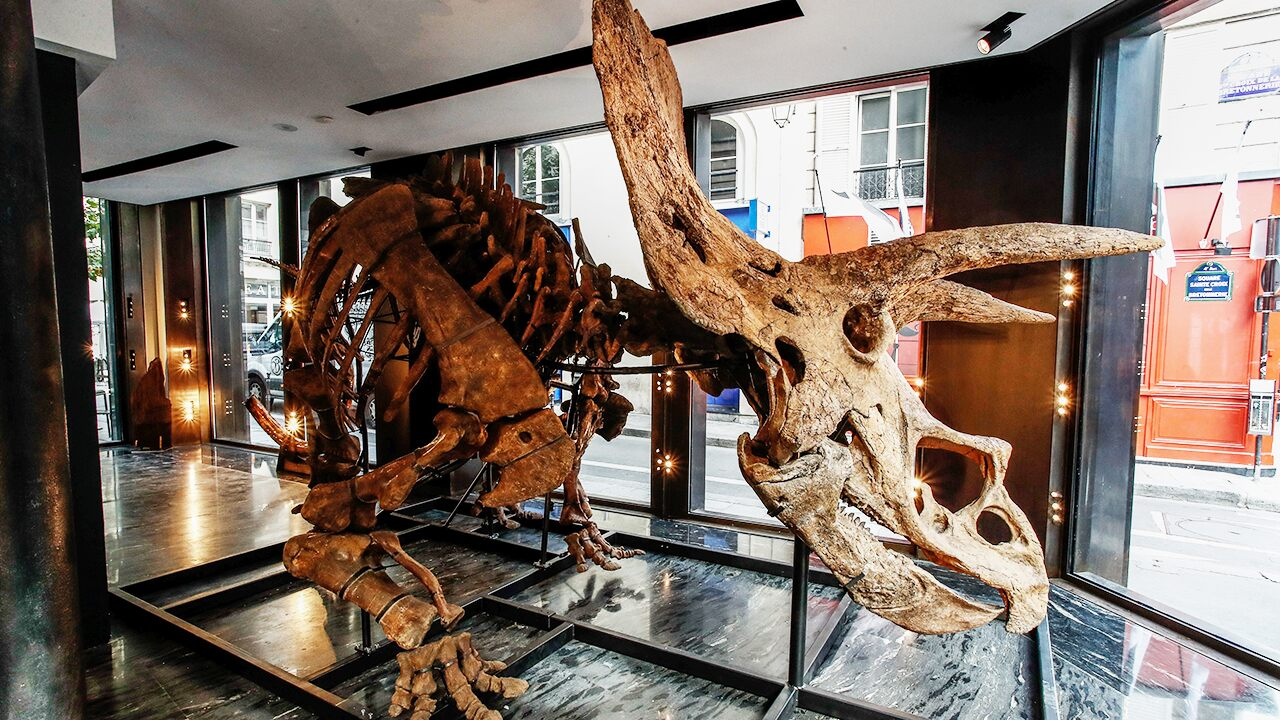 The world's largest triceratops could fetch more than 4 1.4 million for skeletal auction